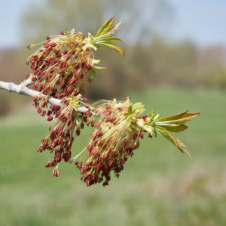 Close-up of a blossoming box of elderberry maple (acer negundo) in spring