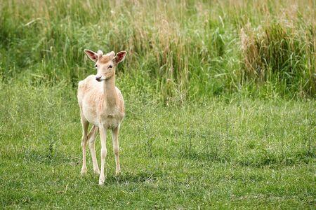 Weißer Damhirsch (Dama dama) auf einer Wiese im Sommer