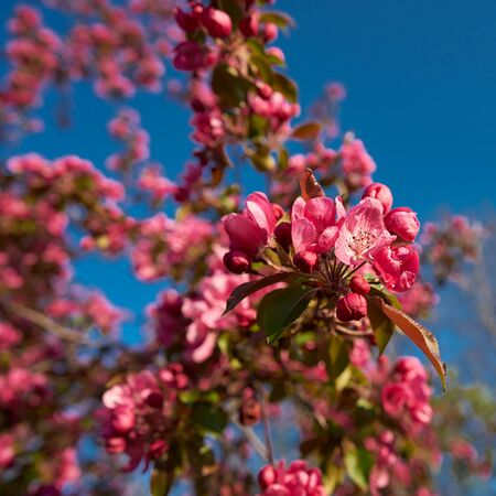 Red blossoms on a plum tree in spring