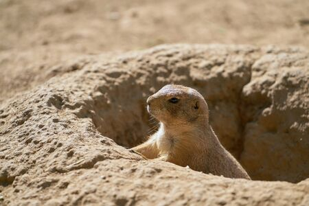 Young prairie dog keeps watch outside his cave