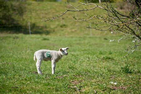 Young newborn sheep on a meadow in spring