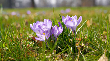 flowering crocus on a meadow in the Herrenkrugpark in Magdeburg in Germany in spring Standard-Bild