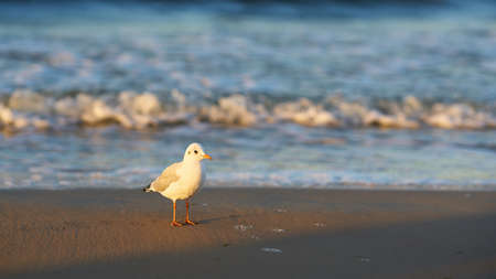 Seagull on the beach of the Polish Baltic Sea coast near Swinoujscie