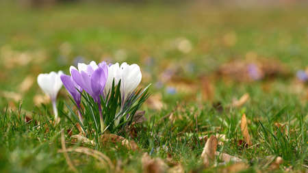 Blooming crocuses on a meadow in Herrenkrugpark in the north of Magdeburg in Germany in springtime