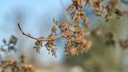 Flowering of a fluttering elm (Ulmus laevis) in Herrenkrugpark near Magdeburg in Germany in springtime