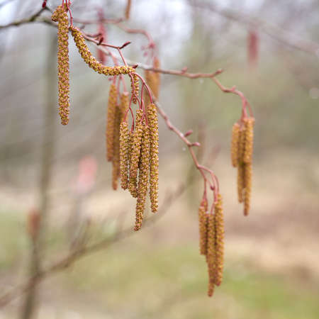 Male flowers of a gray alder (Alnus incana) at the time of pollen flight in spring at a lake Standard-Bild