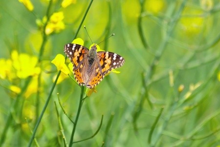 Nice butterfly between yellow flowers Stock Photo - 12871708