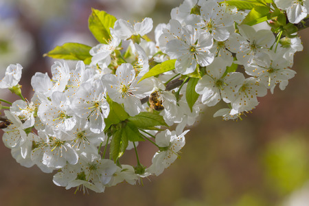 Bees pollinate cherry blossoms in late April