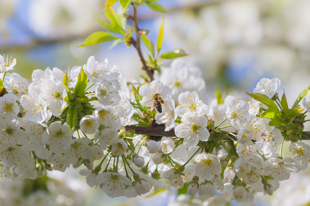 Bees pollinate cherry blossoms in late april Stock Photo