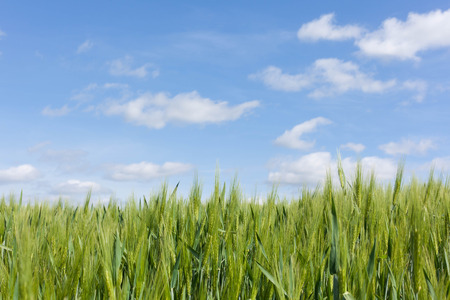 Cultivation of summer barley on a blue sky in Bordesholm, Schleswig-Holstein Germany Stock Photo