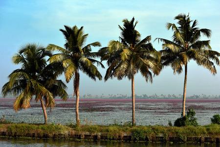 kerala backwaters: backwaters view with plams and roses, Kochi, Kerala, South India Stock Photo