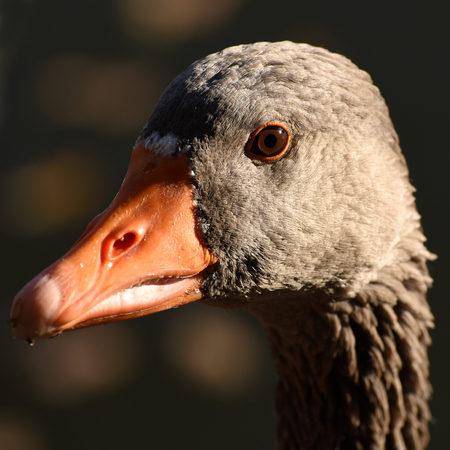 close up of a goose on a lake