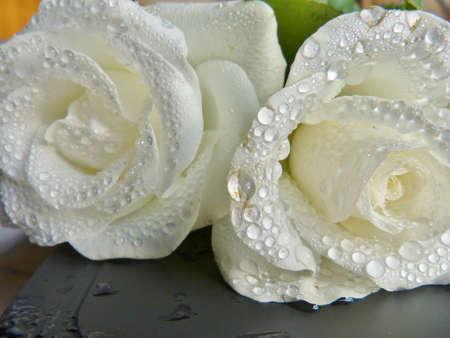 雨の後の白バラ 写真素材