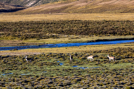 Antelope running on the grasslands of Wuqi County, Tibet, China
