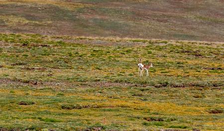 Tibetan antelope running in Yushu Township, Qinghai