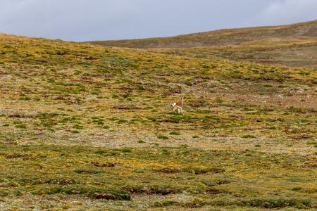 Tibetan antelope running in grassland