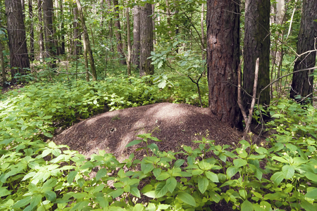 A large anthill in a pine forest in summer, trees and green plants Banco de Imagens