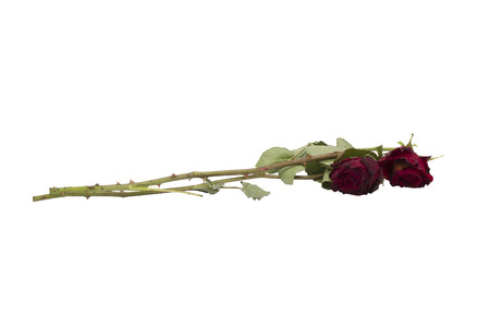 wilting: Two old red roses isolated on white background
