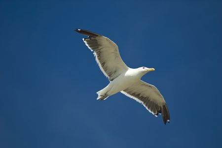 White sea gull flying in the blue sky Stock Photo