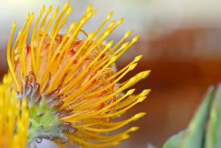 Blloming protea flower as an interior decoration Stock Photo