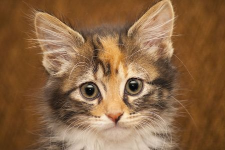 Close up of the face of a brown and white kitten on a brown background