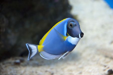 chelmon: Blue, yellow and white fish in a large tank