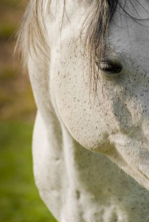 Close up shot of a white horse