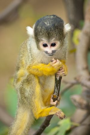 Yellow and black Marmoset monkey on a branch Stock Photo