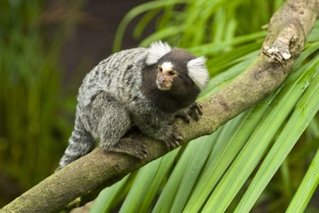 Black and white Marmoset monkey on a branch Imagens