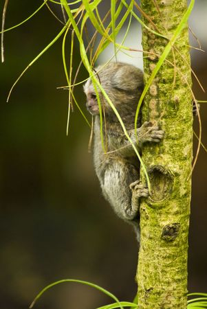 Black and white baby Marmoset monkey clinging to a branch