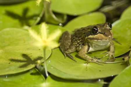 Green frog sitting on large green leaves, with a yellow flower in the foreground photo