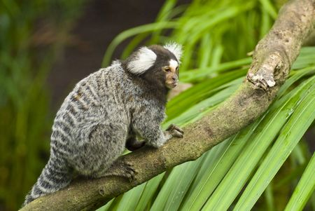 simian: Black and white Marmoset monkey on a branch Stock Photo