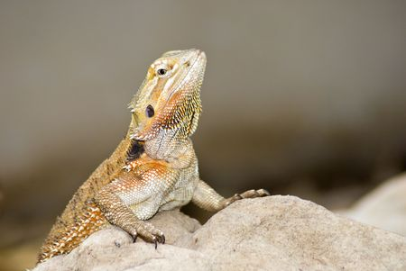 Brown lizzard in desert on rocks Stock Photo