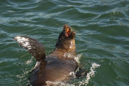 A seal swimming just off Seal Island near Cape Town, South Africa Stock Photo