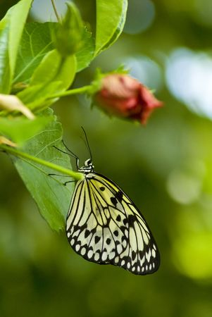 Close up of a black and white butterfly on a plant with a green bakcground photo