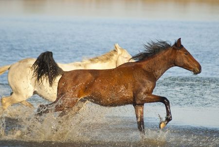beach animals: Two horses - one brown and one white, running in the water