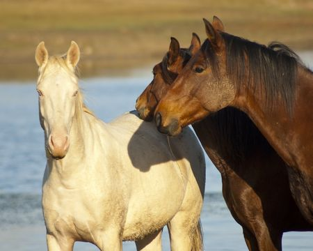 A white horses looking right at the camera, with two brown horses on its side Stock Photo