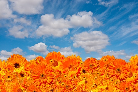 Orange flower background with cloudy sky overhead, consisting of hundreds of flowers photo