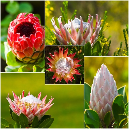 protea flower: Protea flower composite, consisting of 5 different stages of the protea flower