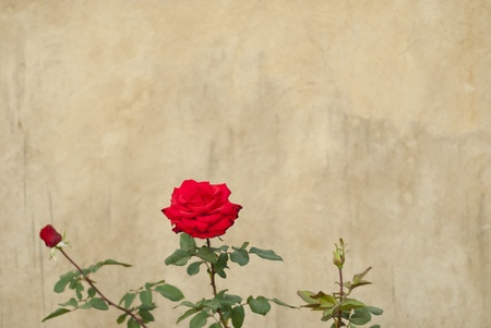 Rose in front of a grungy wall, framed to the side of the frame photo