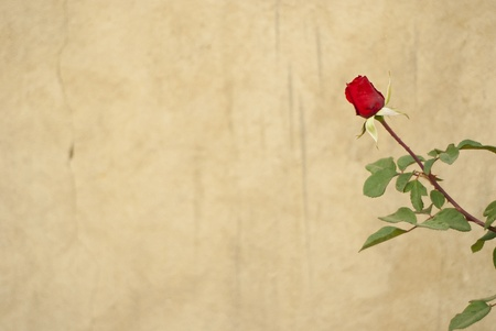 Rose in front of a grungy wall, framed to the side of the frame Stock Photo - 10715462