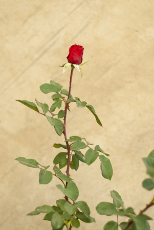 Rose in front of a grungy wall, framed to the side of the frame Stock Photo - 10715354
