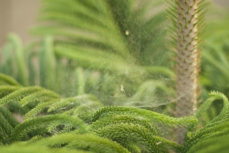 evergreen tree: Close-up of pine type plant with green needles on its leaves. There is also a spider web between leaves Stock Photo