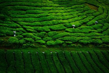 tea farm Stock Photo - 10100941