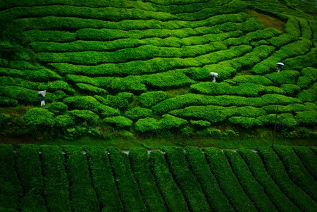 tea plantation: tea farm