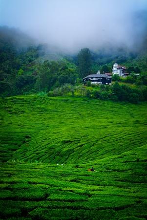 tea farm photo