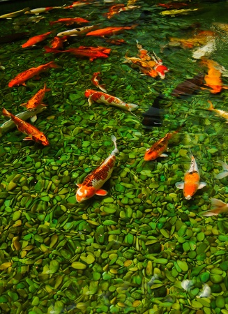warm water fish: Japanese koi fish Stock Photo