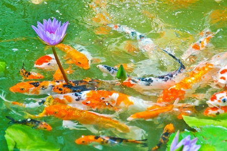 koi fish pond: Japanese koi fish Stock Photo