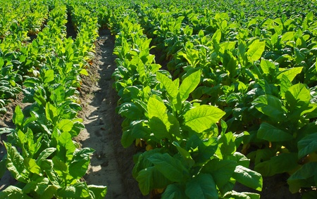 tobacco plants: Tobacco leafs at a plantation Stock Photo