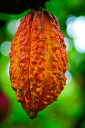 Cocoa fruit in the tree. Cocoa pods in the tree, photo
